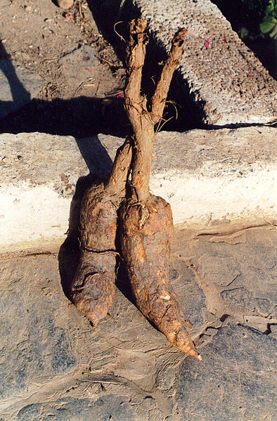 -Mandrake-roots