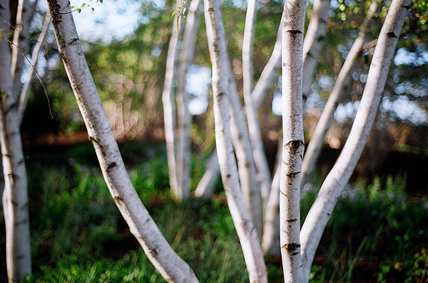 Stand_of_birch_trees