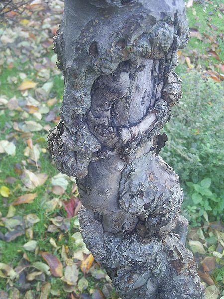 crabapple bark