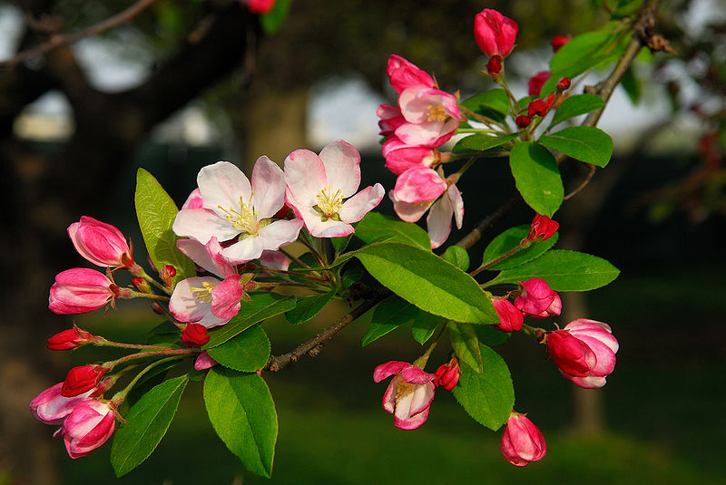 800px-Flowering_crabapple_in_Washington_DC