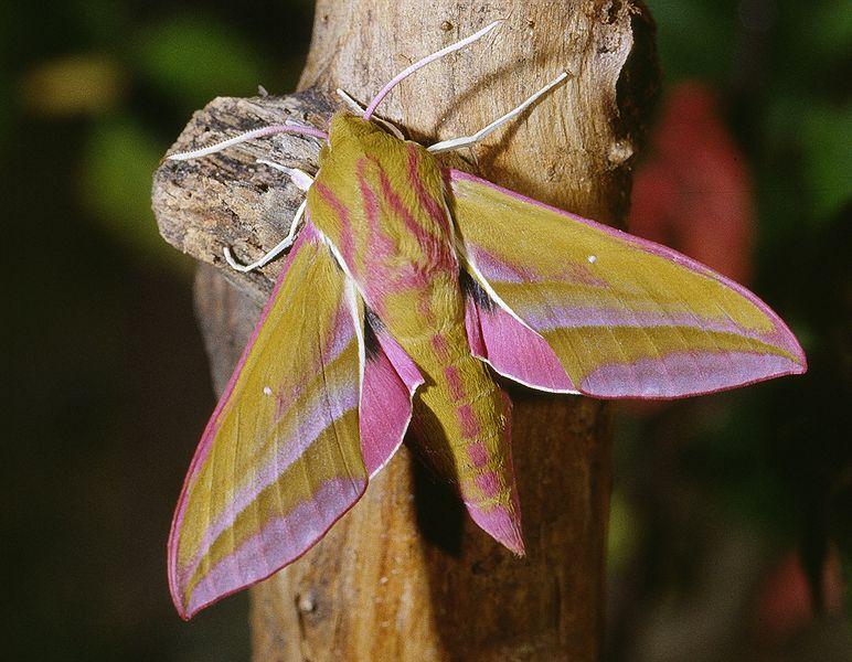elephant moth