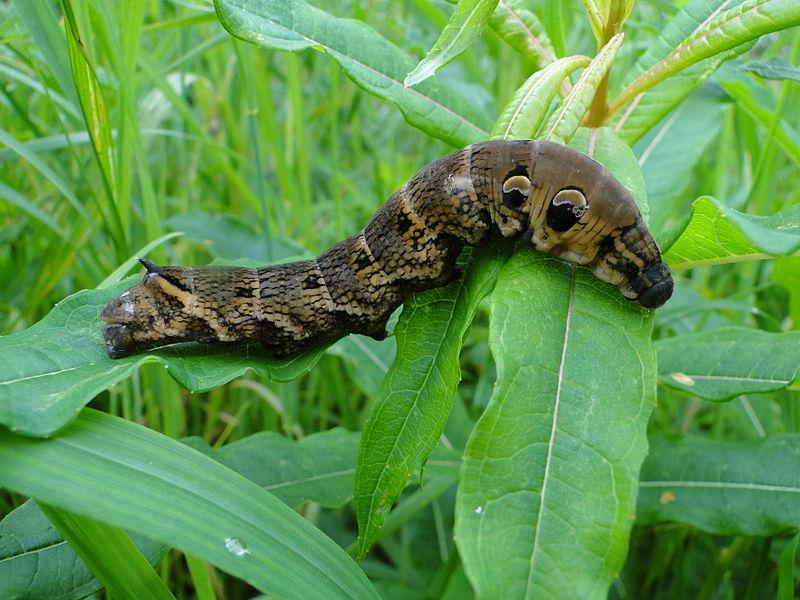 800px-Deilephila_elpenor_caterpillar
