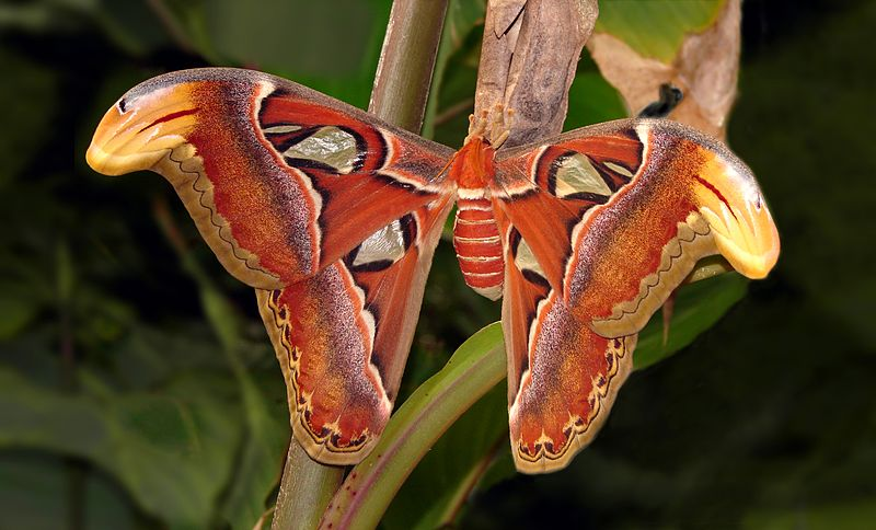 Attacus_atlas_London_Zoo_01118-2